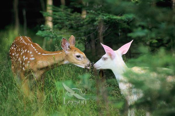 White-tailed deer (Odocoileus virginianus) fawns--one is an albino.  Summer.  Michigan.