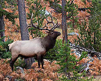 The Gibbon Canyon in west central Yellowstone has many beautiful ferns. In the fall they turn this lovely shade of rusty red. This large bull elk (Cervus canadensis) graciously chose to pose there for me.