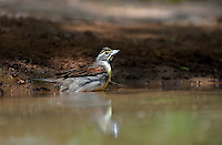 5165000124 a wild dickcissel spiza americana bathes in a small pond in the rio grande valley in south texas