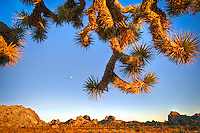 Crazy Tree - Joshua Tree National Park, CA