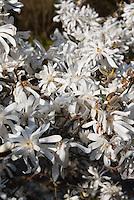 Magnolia stellata 'Royal Star' star magnolia in spring flower