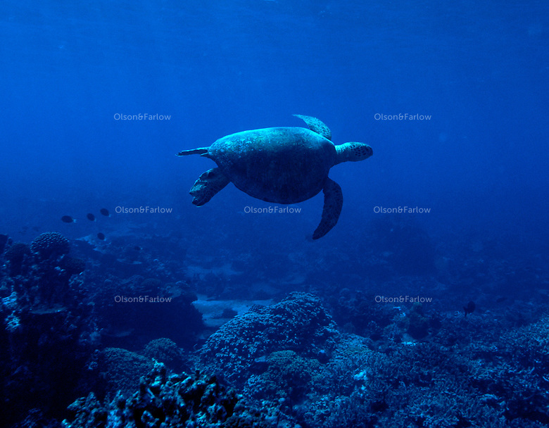"""Sea Turtle, Palmyra Atoll. The largest purchase to date for the Nature Conservancy is the Palmyra an atoll situated about 300 miles north of the equator.  Palmyra has five times as many coral species as the Florida Keys and three times as many as Hawaii.  It is home to the world's largest invertebrate, the rare coconut crab, and a population of red-footed booby birds second only to that of the Galapagos.  It is the last marine wilderness area left in the U.S. tropics and is home to the last remaining stands of Pisonia grandis beach forest in the world.  Palmyra was a US Navy supply base in World War II, the site of a proposed nuclear waste dump, an unsuccessful coconut plantation and of various development schemes.  Palmyra is most famous for the 1974 slaying  of a married couple which became the subject of the best-selling book """"And the Sea Will Tell,"""" by Vincent Bugliosi."""