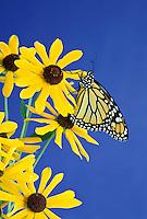 Monarch butterfly, Danaus plexippus, on black eyed susan wildflowers