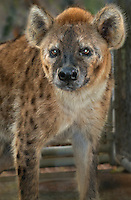648400003 a spotted hyena crocuta crocuta in its permanent enclosure at a wildlife rescue facility - animal is a wildlife rescue animal