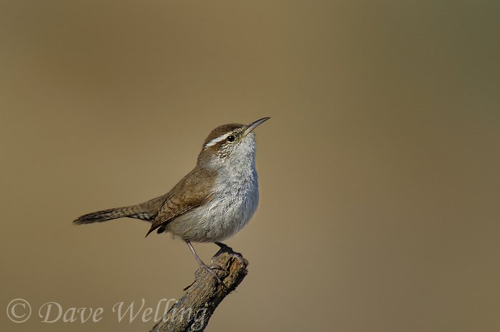 598030029 a wild bewick's wren thryomanes bewickii  perches on a twig in kern county california united states
