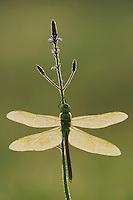 Green Darner (Anax junius), female dew covered backlit at sunrise on Texas Vervain (Verbena halei), Fennessey Ranch, Refugio, Coastal Bend, Texas, USA