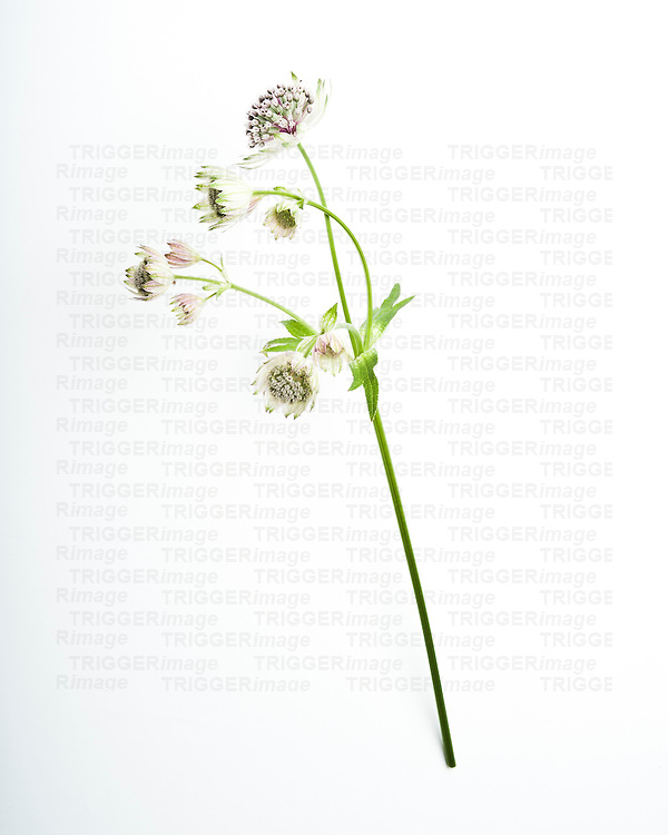 Single white flower on white background