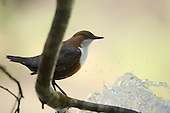 White-throated Dipper (Cinclus cinclus), Alps, Italy