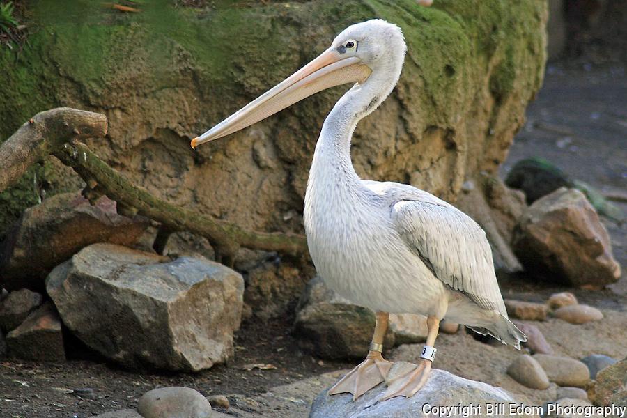 Portrait of a Pelican.