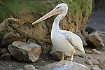 Portrait of a Pelican.