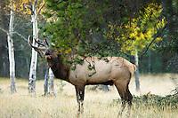 Rocky Mountain Elk bull (Cervus elaphus) bugling.  Northern Rockies.  Fall.