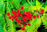 Ohelo blossoms (vaccinium reticulatum), a small native shrub used for food and medicine.