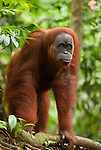 Sumatran orangutan stands on all fours and looks to camera.