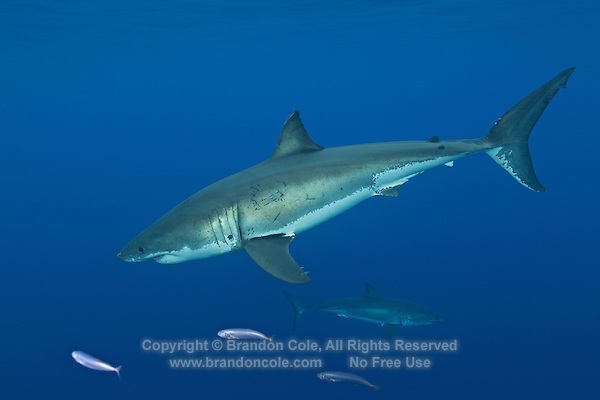 TE2179-D. Great White Sharks (Carcharodon carcharias), belong to the family Lamnidae, the Mackerel Sharks. Females sexually mature at 10 to 12 years old, give birth to 7 to 9 live pups approximately 4 feet in length. With only 4 to 6 such litters in a lifetime, this species is extremely vulnerable to overfishing and slow to recover from population crashes. Great whites are currently protected in Mexican waters. Guadalupe Island, Baja, Mexico, Pacific Ocean.<br /> Photo Copyright &copy; Brandon Cole. All rights reserved worldwide.  www.brandoncole.com