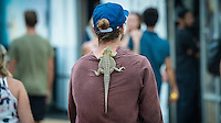 Snapper Rocks, Coolangatta Queensland Australia (Sunday, March 13 2016): Spectator with Water Dragon Lizard - Round Two of the first WCT event of the year, the Quiksilver Pro Gold Coast, was called on this morning with a number of top seeds hitting the water. In a day up upsets the Tour Rookies took out a good proportion of the heats with Stu Kennedy(AUS) defeating Kelly Slater (USA), Conner Coffin (USA) knowing out Kai Otton and Ryan Callinan  (AUS) eliminating Jordy Smith (ZAF) The event was put on hold for over 4 hours while organisers waited for conditions to improve. The surf was in the 3'-4' range most of the day.Photo: joliphotos.com