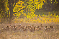 Herd of elk in Montana