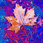 Colorful turning leaves in autumn, Peek Hill, Jackson, Calif.<br /> <br /> Sycamore leaves on the pavement