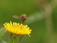 Honeybee flying on flower with pollen balls.