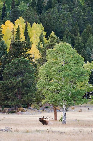 Elk, Wapiti, Cervus elaphus, bull calling, bugling, with aspentrees with fallcolors, Rocky Mountain National Park, Colorado, USA