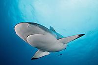 RC40169-D. Gray Reef Shark (Carcharhinus amblyrhynchos). Fiji, Pacific Ocean.<br /> Photo Copyright &copy; Brandon Cole. All rights reserved worldwide.  www.brandoncole.com