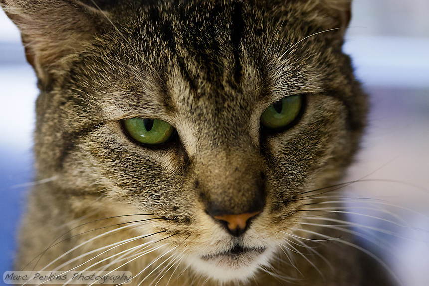 "Trista, a three year old female short-haired brown tabby cat with green eyes (and a white chin), staring off into the distance in this super-closeup image focusing just on her face.  I love how proud and strong she looks here; ""don't mess with me"" is almost certainly her motto.  Trista has a face that looks somewhat like a mountain lion to me; a bit more elongated than your typical domesticated cat.  Trista is up for adoption at Miss Kitty's Rescue in Costa Mesa, CA.  This picture was taken pro bono for Miss Kitty's Rescue to help them advertise the cats for adoption."