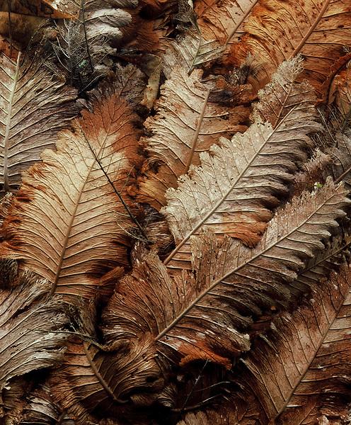 Basket Ferns<br /> Wet Tropical Rainforest,<br /> Wet Tropics WHA<br /> FNQ