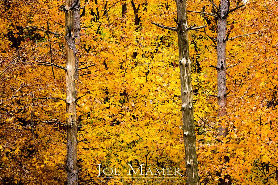 Yellow maple leaves at the Minnesota Landscape Arboretum.