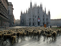 Pecore in Duomo