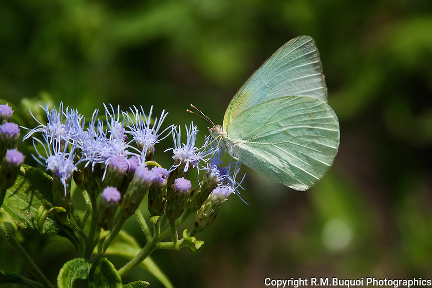 Lyside Sulphur Butterfly on Blue Mist-Flower