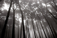 North America, United States of America, California, San Francisco, Kobbe Key Forest in Park Presidio, &copy;Stephen Blake Farrington<br />
