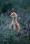 Sandhill crane chicks are able to walk immediately after hatching.
