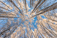 Alaska paper birch trees in winter hoar frost, Fairbanks, Alaska