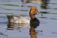 Redhead Duck swimming on a lake