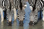 Burchell's (plains) zebra (Equus burchelli) drinking, Mhkuze nature reserve, KwaZulu-Natal, South Africa, May 2015