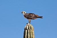 Osprey, Sea of Cortez, Baja, Mexico
