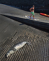 women kayakers observing Hawaiian monk seal, Monachus schauinslandi, basking at boat ramp, young male, critically endangered, Honokohau Harbor, Kona Coast, Big Island, Hawaii, Pacific Ocean, No MR