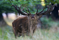 Red Deer (Cervus elaphus), Klampenborg Dyrehave, Denmark. Fenced reserve enclosure.