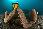 Saddleback Clownfish or Saddleback Anemonefish, Amphiprion polymnus