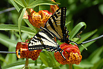 Swallowtail butterfly on tiger lilly in Bonny Doon