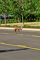 Coyote crossing street at Cascade Station in Portland, Oregon