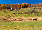 A red-roofed barn and neaby cow frame the view of a new orchard being tended in the vally.