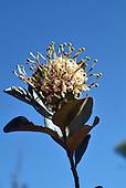 stenocarpus comptonii