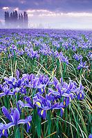 Field of blue iris on foggy morning, Mount Vernon, Skagit Valley, Skagit County, Washington, US