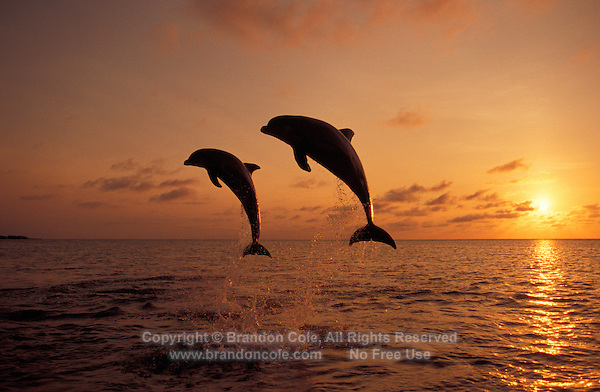 my796. Bottlenose Dolphins (Tursiops truncatus) leaping at sunset. Honduras, Caribbean Sea..Photo Copyright © Brandon Cole. All rights reserved worldwide.  www.brandoncole.com
