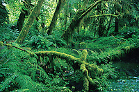Creek in Hoh Rainforest, Olympic National Park, Washington