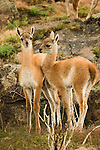 Young guanaco, Torres del Paine National Park, Chile.