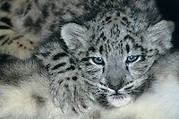 654403025 a young snow leopard cub panthera uncia lays on top of its mother in a zoo - species is highly endangered in the wild - species is native to the high steppes of central asia