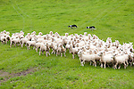 New Zealand, North Island, near Wellington, sheep dogs herd sheep near The Wool Shed in Wairarapa. Photo copyright Lee Foster. Photo # newzealand125812
