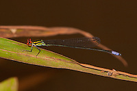Sprite Damselfly male perched (Pseudagrion hageni), South Africa.