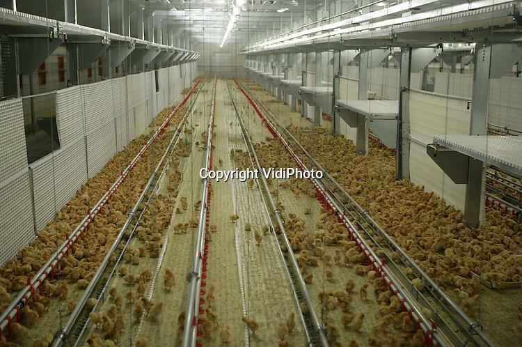 Foto: VidiPhoto..DE GLIND - De ultra-moderne kuikenstal van de familie Van Ingen uit De Glind. Het systeem is geleverd door Rijnvallei in Wageningen. De kuikens worden door Van Ingen opgefokt tot legkippen.